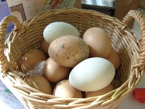 huevos de gallinas camperas