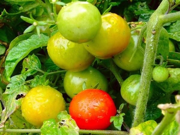 huerto urbano tomates